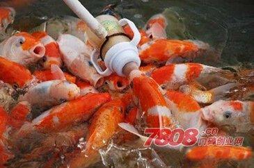吃奶鱼价格多少钱一条