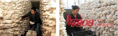 适合北方的特色种植,家庭种植蘑菇应该如何种,优菌派,优菌派蘑菇种植