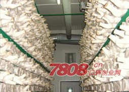 平菇(可以)工厂化栽培吗,优菌派工厂化种植能赚多少钱,优菌派