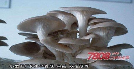 平菇发酵料栽培技术,优菌派蘑菇种植,优菌派