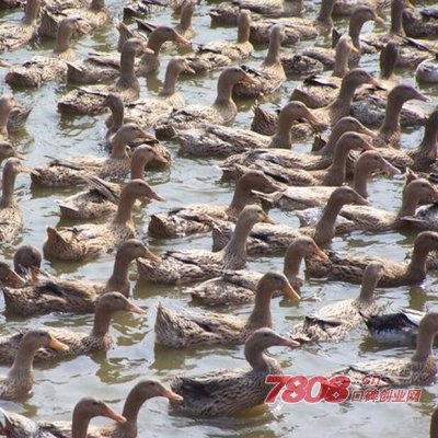 鱼塘养2000只鸭子成本要多少钱
